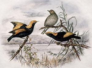 Gladys OGrady Regent Bower Bird